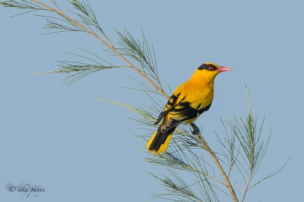 Black-naped Oriole. Photo Credit: Zahidi Hamid