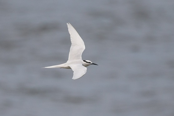 Black-naped Tern at Punggol Beach. Photo Credit: Francis Yap