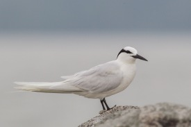 Black-naped Tern at Changi. Photo Credit: Francis Yap