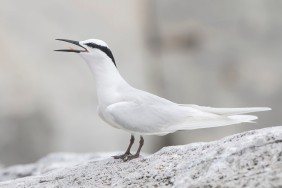 Black-naped Tern at Changi. Photo credit: See Toh Yew Wai