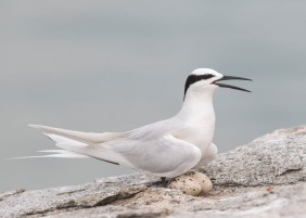 Black-naped Tern at nest at Changi. Photo credit: See Toh Yew Wai