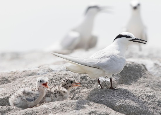 Black-naped Tern with chicks at Changi. Photo credit: See Toh Yew Wai