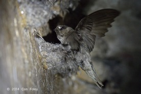 Black-nest Swiftlet at Sentosa. Photo credit: Con Foley