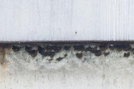 Black-nest Swiftlets at Horsburgh Lighthouse
