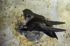 Black-nest Swiftlet at Sentosa. Photo credit: Francis Yap