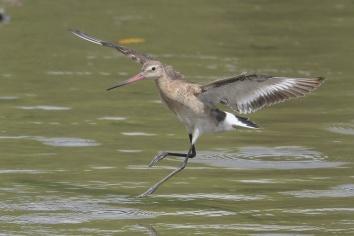 Black-tailed Godwit at SBWR. Photo credit: Francis Yap