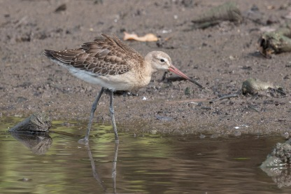 Black-tailed Godwit at SBWR. Photo Credit: Francis Yap