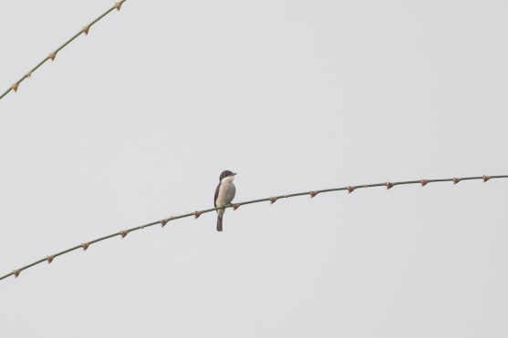 Black-winged Flycatcher-shrike at Jelutong Tower. Photo Credit: Francis Yap