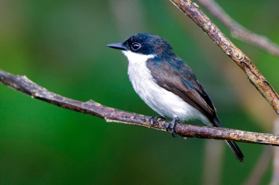 Black-winged Flycatcher-shrike (male) at Panti Bird Sanctuary. Photo Credit: Alan Ng