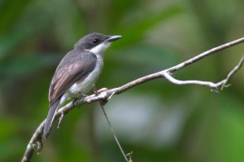 Black-winged Flycatcher-shrike (female) at Panti Bird Sanctuary. Photo Credit: Alan Ng
