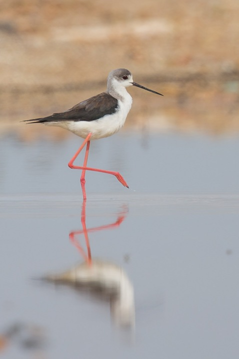 Black-winged Stilt at Punggol Barat. Photo Credit: Francis Yap