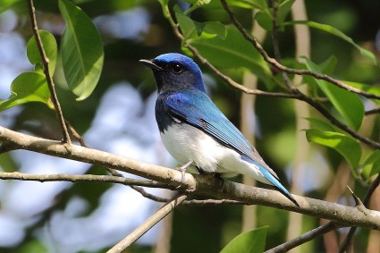 Male Blue-and-white Flycatcher at Bukit Batok Nature Park. Photo Credit: Myron Tay