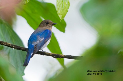 First-winter male Blue-and-white Flycatcher at Dairy Farm Nature Park. Photo Credit: Alan Ng
