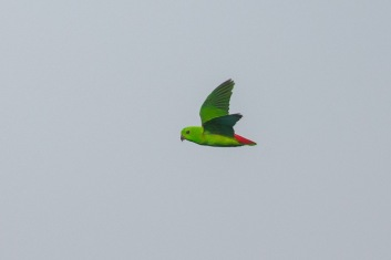 Female Blue-crowned Hanging Parrot flying over Jelutong Tower. Photo Credit: Francis Yap