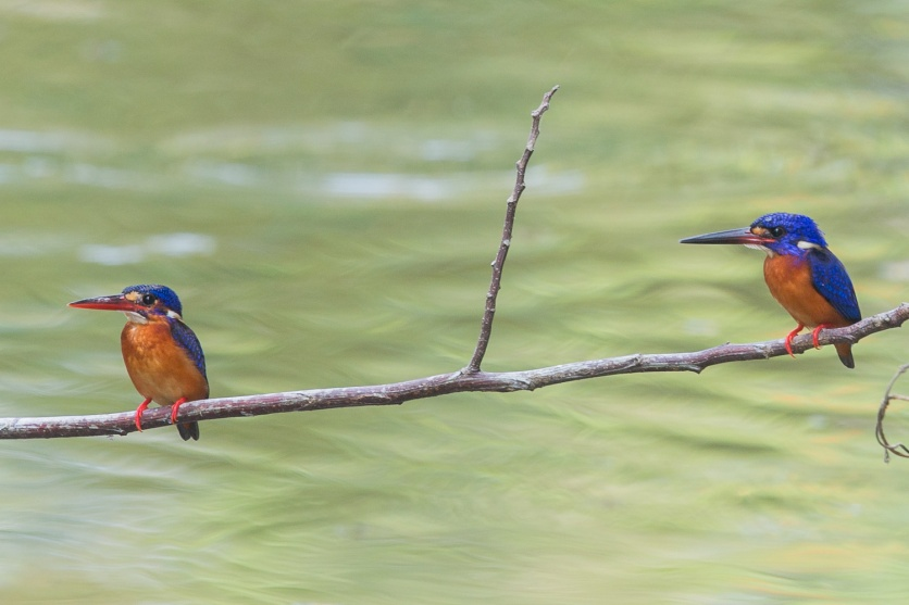 Blue-eared Kingfishers at NTL2. Photo Credit: Francis Yap