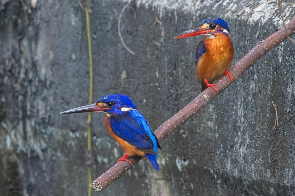 Blue-eared Kingfisher pair at NTL2. Photo Credit: Francis Yap