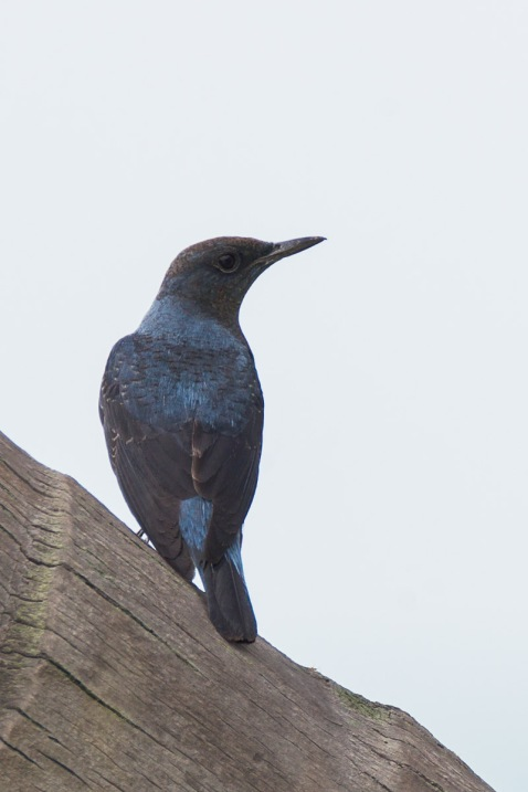 Male Blue Rock Thrush at Sentosa. Photo Credit: Francis Yap