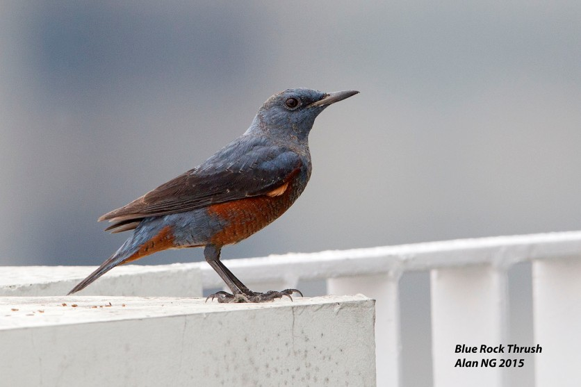 Male Blue Rock Thrush at Pinnacle@Duxton. Photo Credit: Alan Ng