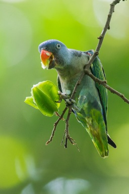 Male Blue-rumped Parrot at Venus Drive. Photo Credit: Francis Yap