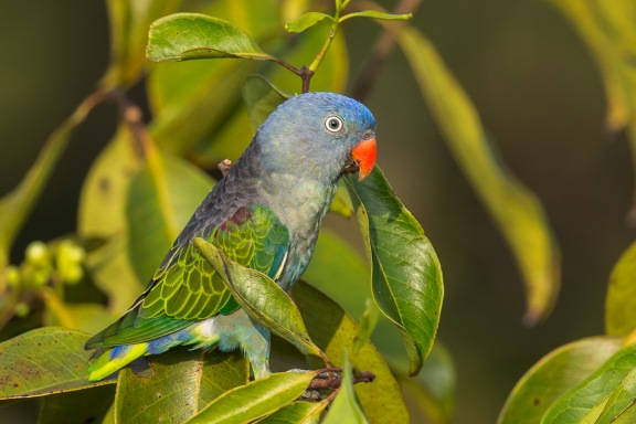 Male Blue-rumped Parrot at Jelutong Tower. Photo Credit: Francis Yap