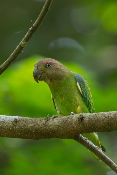 Female Blue-rumped Parrot at Venus Drive. Photo Credit: Francis Yap