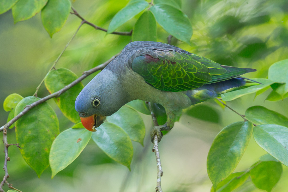Blue rumped parrot singapore birds project for Birds project