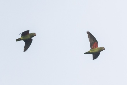 Blue-rumped Parrots flying at Jelutong Tower. Photo Credit: Francis Yap