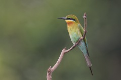Blue-tailed Bee-eater at Jelutong Tower. Photo credit: Francis Yap