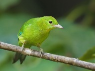 Juvenile Blue-winged Leafbird at Panti. Photo Credit: Chong Boon Leong