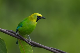 Male Blue-winged Leafbird at Jelutong Tower. Photo Credit: Francis Yap