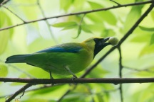 Male Blue-winged Leafbird at Dairy Farm. Photo Credit: Francis Yap