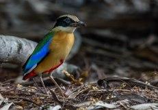 Blue-winged Pitta. Photo credit: Solomon Anthony