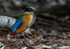 Blue-winged Pitta. Photo credit: Solomon Anthony