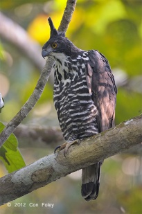 Adult Blyth's Hawk Eagle at Panti Bird Sanctuary. Photo credit: Con Foley