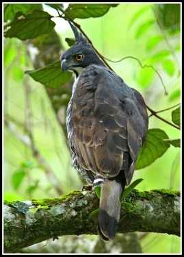 Adult Blyth's Hawk Eagle at Panti Bird Sanctuary. Photo credit: Daniel Koh