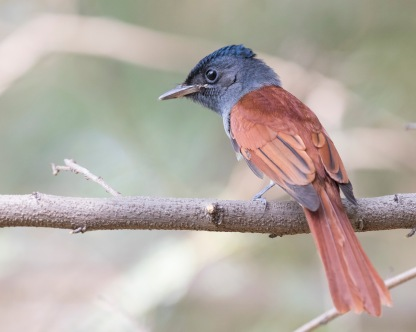 Blyth's Paradise Flycatcher. Photo Credit: See Toh Yew Wai