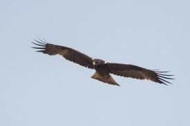 Dark morph Booted Eagle at Tanah Merah. Photo Credit: Francis Yap