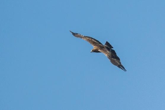 Dark morph Booted Eagle at Punggol Barat. Photo Credit: Francis Yap