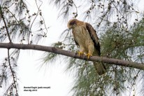 Pale morph Booted Eagle at Punggol Barat. Photo Credit: Alan Ng