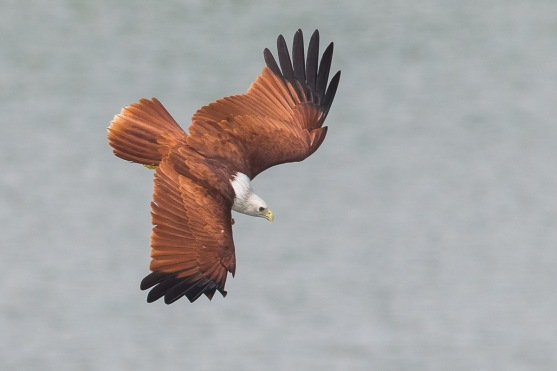 Adult Brahminy KIte at Lorong Halus. Photo Credit: Francis Yap