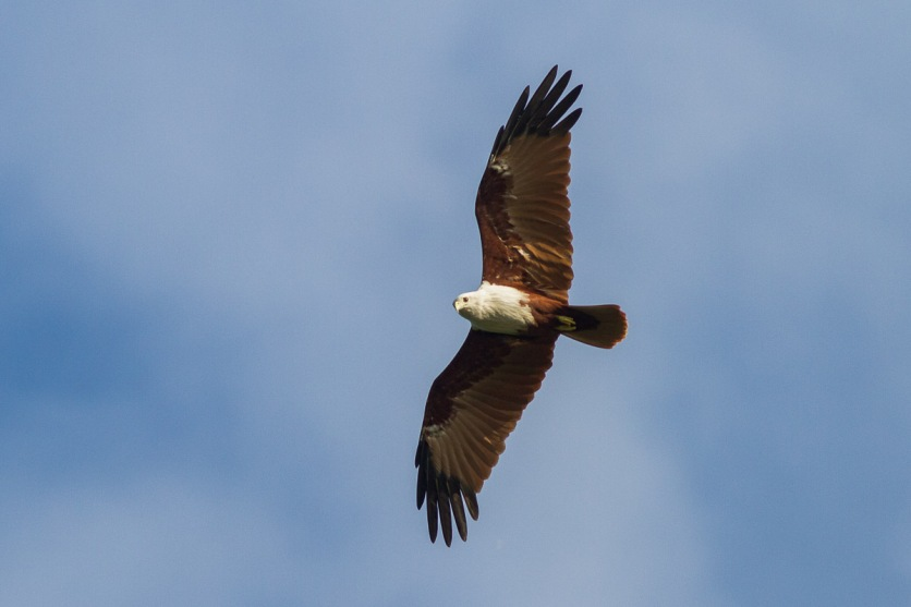 Adult Brahminy KIte at East Coast Park. Photo Credit: Francis Yap