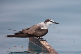 Non-breeding Bridled Tern at Singapore Strait. Photo Credit: Francis Yap