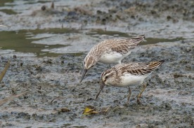 Broad-billed Sandpipers at SBWR. Photo Credit: Francis Yap