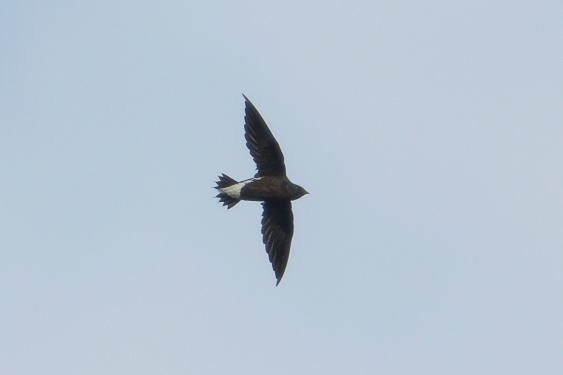 Brown-backed Needletail at Jelutong Tower. Photo credit: Francis Yap