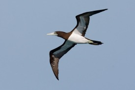 Brown Booby at Dampier Peninsula, Kimberley, Western Australia. Photo Credit: Eric Tan