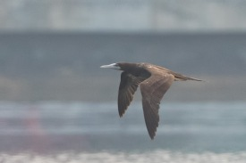 Subadult Brown Booby at Straits of Johor. Photo credits: See Toh Yew Wai