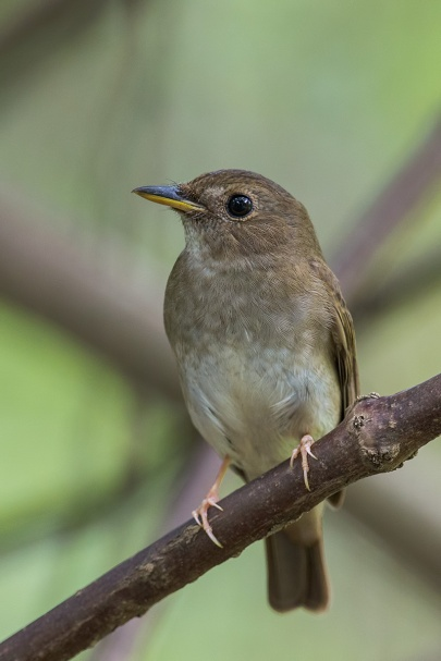 Brown-chested Jungle Flycatcher at Bidadari. Photo Credit: Francis Yap