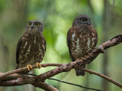 Brown Hawk-Owl at Venus Drive. Photo Credit: Francis Yap