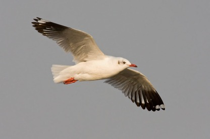 Non-breeding Brown-headed Gull at Bang Poo, Thailand. Photo Credit: Eric Tan