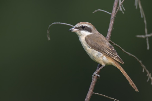 Male Brown Shrike (ssp confusus) from Changi Cove. Photo credit: Francis Yap